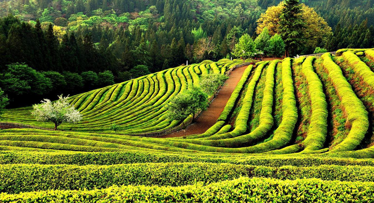 Boseong Green-Tea Fields